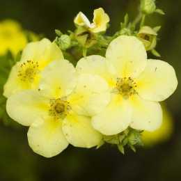 Лапчатка кустарниковая 'Primrose Beauty'