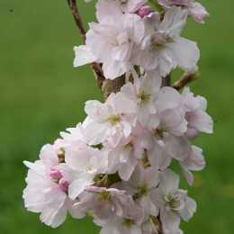 Вишня мелкопильчатая 'Amanogawa'
