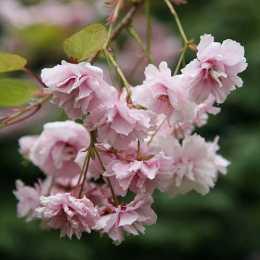 Вишня 'Kiku-shidare-zakura'