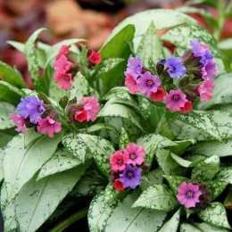 Медуница 'Silver Bouquet'