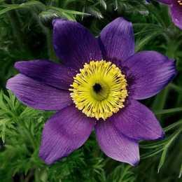 Прострел обыкновенный 'Pinwheel Blue Violet Shades'