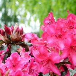Рододендрон 'Choco & Pink'