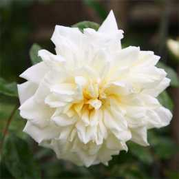 Роза 'Albéric Barbier'