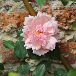 Роза 'Albertine'