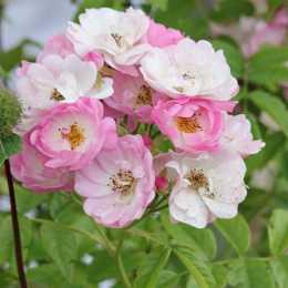 Роза 'Apple Blossom'