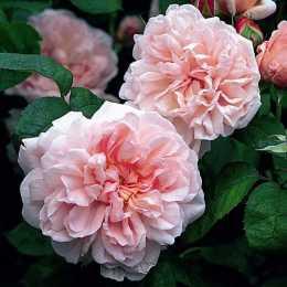 Роза 'Ausmak' EGLANTYNE
