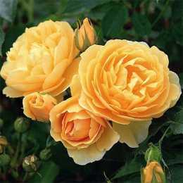 Роза 'Graham Thomas'