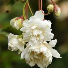 Роза banksiae 'Alba'