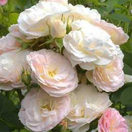 Роза 'Bouquet Parfait'