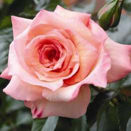 Роза плетистая 'Barock'