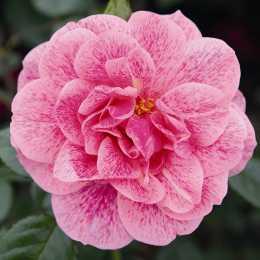 Роза плетистая Camelot