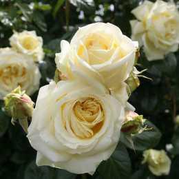 Роза плетистая 'Elfe'