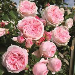 Роза плетистая 'Giardina'