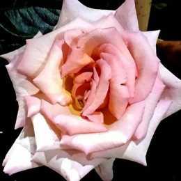 Роза 'Compassion'