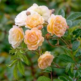 Роза плетистая 'Ghislaine de Feligonde'