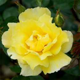 Роза 'Golden Showers'