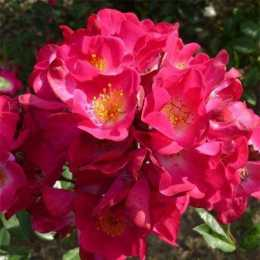 Роза 'Grand-Duc Jean'
