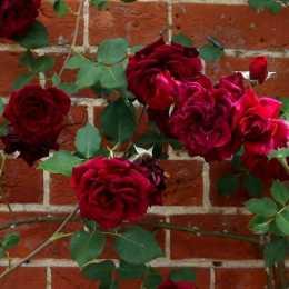 Роза 'Guinée'