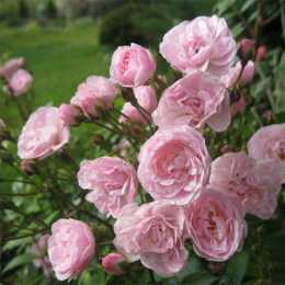rosa-Heavenly Pink