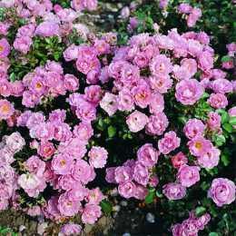 Роза 'Korlanum'