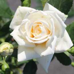 Роза плетистая 'Krohn Superior'