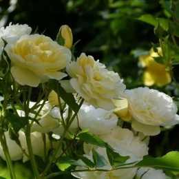 Роза 'La Feuillerie'