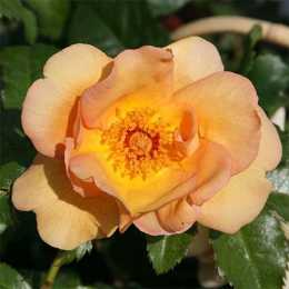 Роза плетистая 'Maigold'