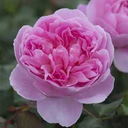 Роза 'Marion'