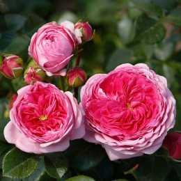 Роза 'Modern Art'