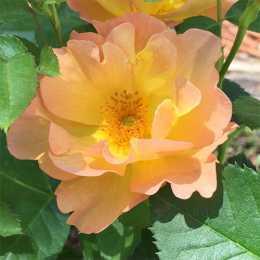 Роза 'Morden Sunrise'