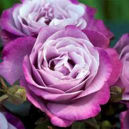 Роза 'Muriel Robin'