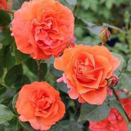 Роза 'Naranga'