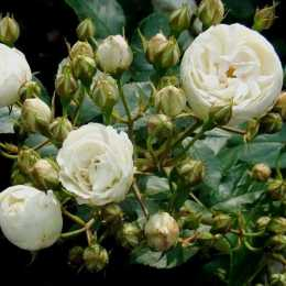 Роза 'Neige d'été'