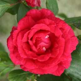 Роза плетистая 'Pauls Scarlet Climber'