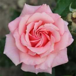 Роза 'Poesie'