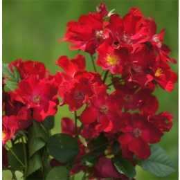 Роза 'Poppy Rose'