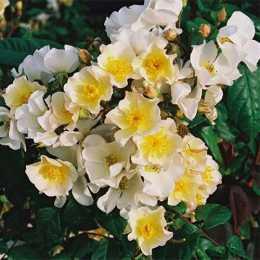 Роза 'Rosalita'