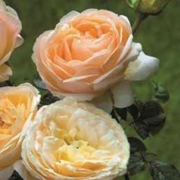 Роза 'Sherazade'