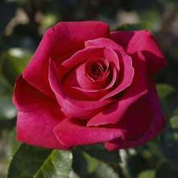 Роза 'Hot lady'