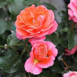 Роза 'Theodor Fontane Rose'