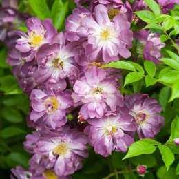 Роза 'Veilchenblau'