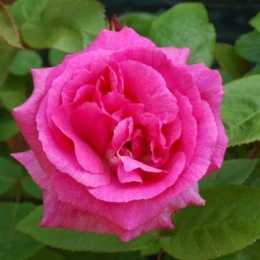 Роза плетистая 'Zephirine Drouhin'
