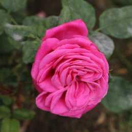 Роза 'A Caen la Paix'