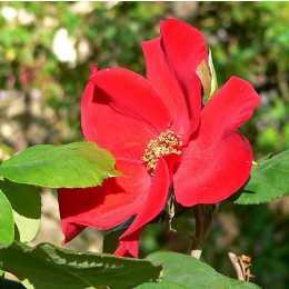 Роза 'Altissimo'
