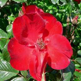 Роза 'Robusta'