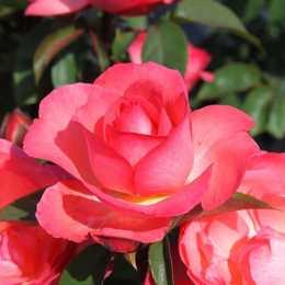 Роза 'Aachener Dom'