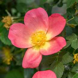 Роза 'Lady Penzance'