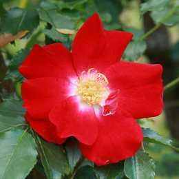 Роза 'Dortmund'