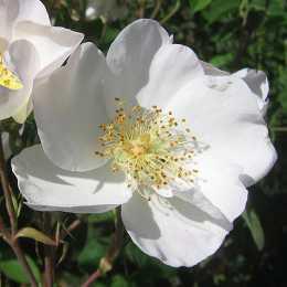 Роза 'Nevada'
