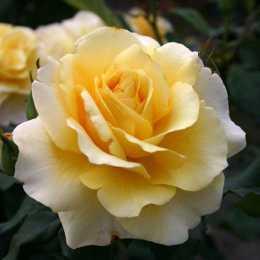 Роза 'Sunny Sky'